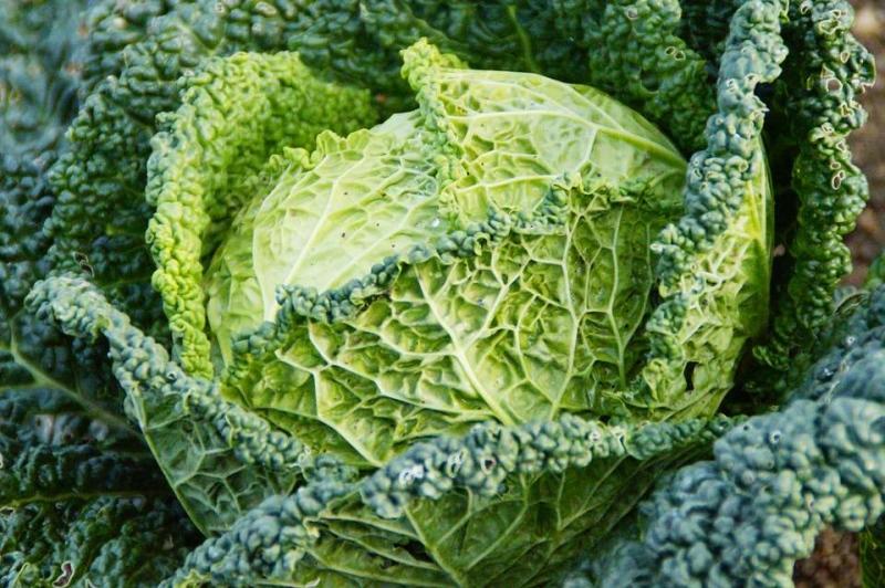 每天只吃白菜能减肥吗不能光吃白菜减肥